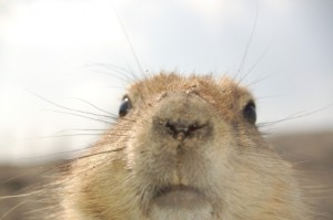 Prairie Dogs Not So Smart After All
