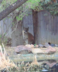 Mountain Lions in Our Neighborhoods