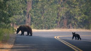 SFGate | Sierra's bears wide-awake during warm winter