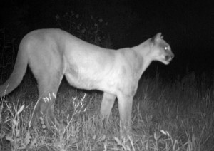 Mountain Lions in the City: What Can We Do?