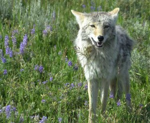 A Call for the Coyotes
