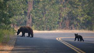 SFGate | Sierra's bears wide-awake during warm winter
