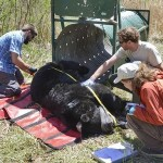 Citizen-Times | 5 interesting findings from Asheville bear study